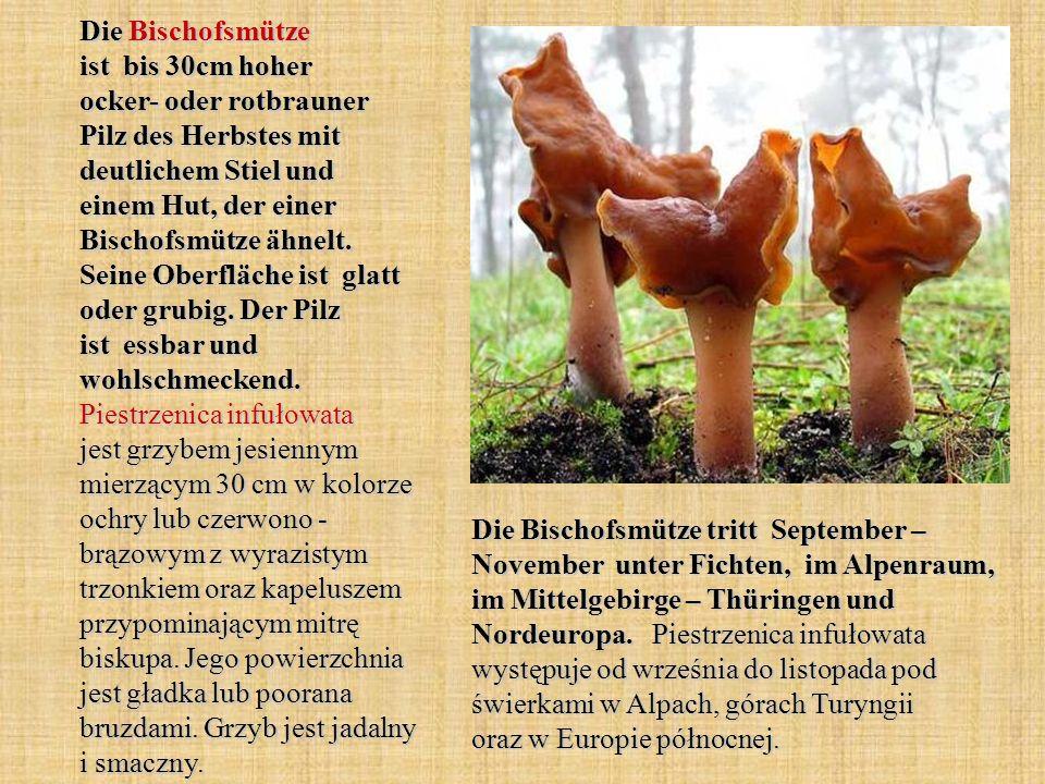 Die Bischofsmütze ist bis 30cm hoher ocker- oder rotbrauner Pilz des Herbstes mit deutlichem Stiel und einem Hut, der einer Bischofsmütze ähnelt. Sein