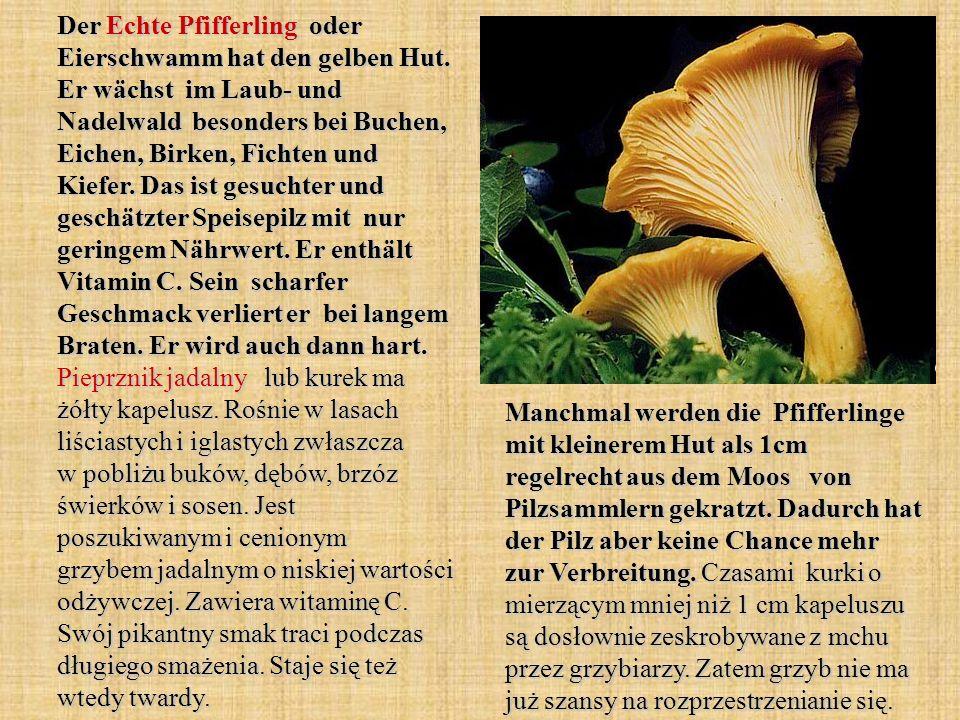 Der Echte Pfifferling oder Eierschwamm hat den gelben Hut. Er wächst im Laub- und Nadelwald besonders bei Buchen, Eichen, Birken, Fichten und Kiefer.