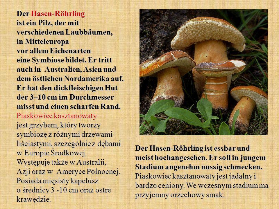 Der Hasen-Röhrling ist ein Pilz, der mit verschiedenen Laubbäumen, in Mitteleuropa vor allem Eichenarten eine Symbiose bildet. Er tritt auch in Austra
