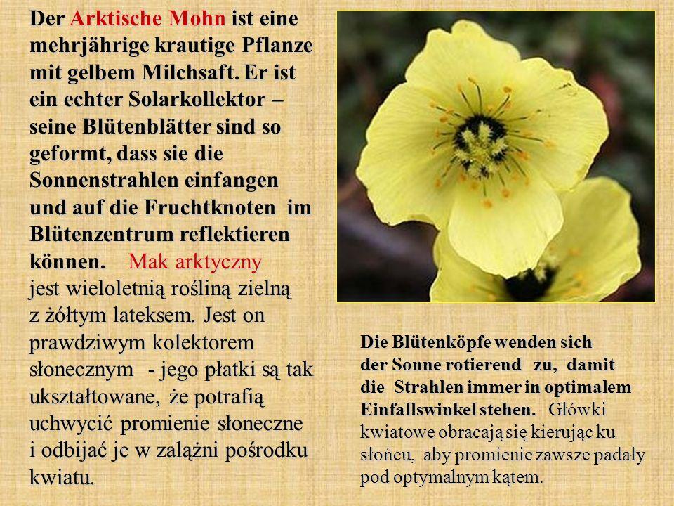 Der Arktische Mohn ist eine mehrjährige krautige Pflanze mit gelbem Milchsaft. Er ist ein echter Solarkollektor – seine Blütenblätter sind so geformt,