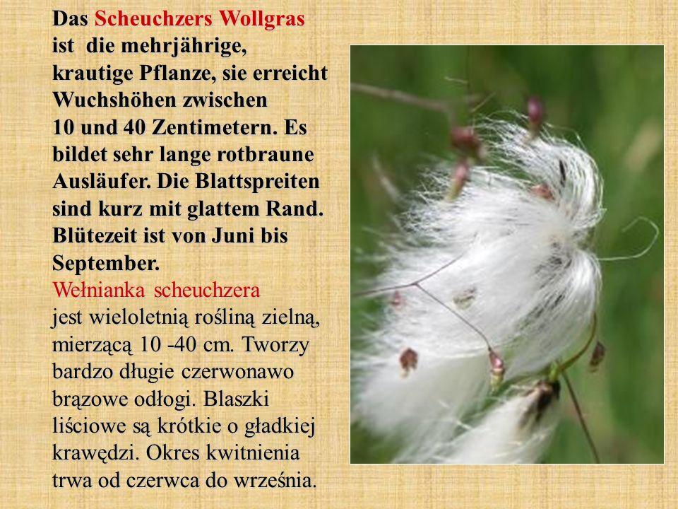 Das Scheuchzers Wollgras ist die mehrjährige, krautige Pflanze, sie erreicht Wuchshöhen zwischen 10 und 40 Zentimetern. Es bildet sehr lange rotbraune