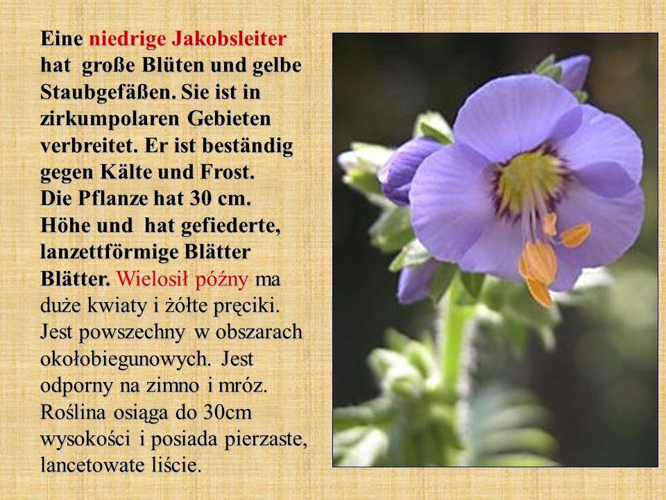 Eine niedrige Jakobsleiter hat große Blüten und gelbe Staubgefäßen. Sie ist in zirkumpolaren Gebieten verbreitet. Er ist beständig gegen Kälte und Fro