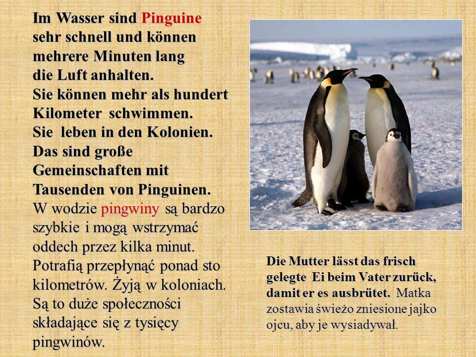 Im Wasser sind Pinguine sehr schnell und können mehrere Minuten lang die Luft anhalten. Sie können mehr als hundert Kilometer schwimmen. Sie leben in