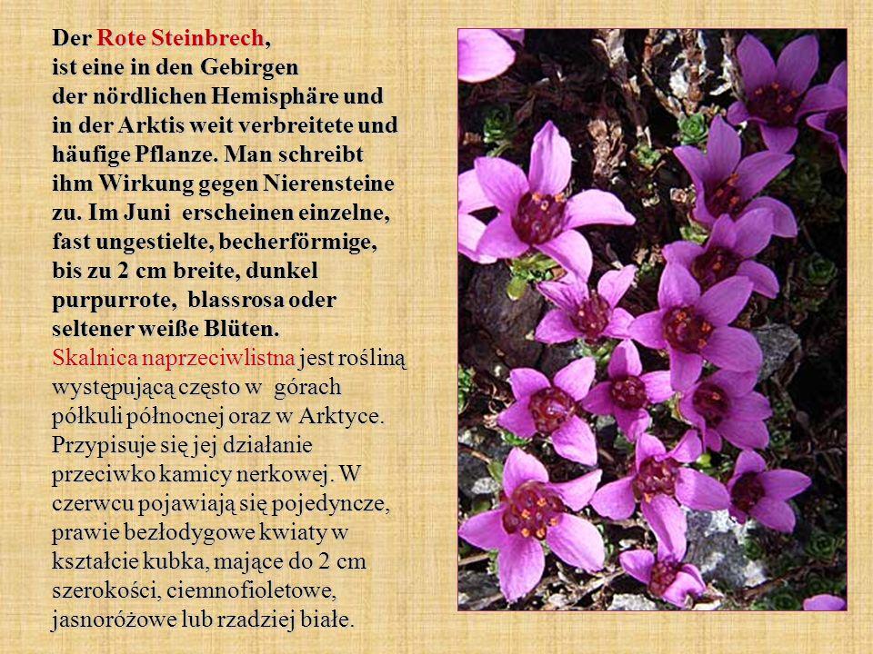 Der Rote Steinbrech, ist eine in den Gebirgen der nördlichen Hemisphäre und in der Arktis weit verbreitete und häufige Pflanze. Man schreibt ihm Wirku