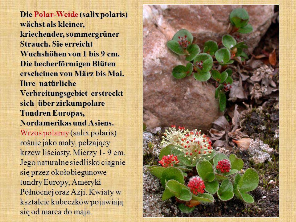 Die Polar-Weide (salix polaris) wächst als kleiner, kriechender, sommergrüner Strauch. Sie erreicht Wuchshöhen von 1 bis 9 cm. Die becherförmigen Blüt