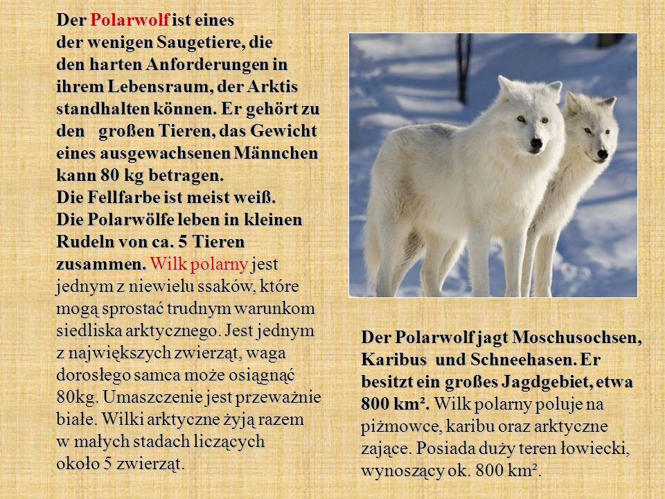 Der Polarwolf ist eines der wenigen Saugetiere, die den harten Anforderungen in ihrem Lebensraum, der Arktis standhalten können. Er gehört zu den groß