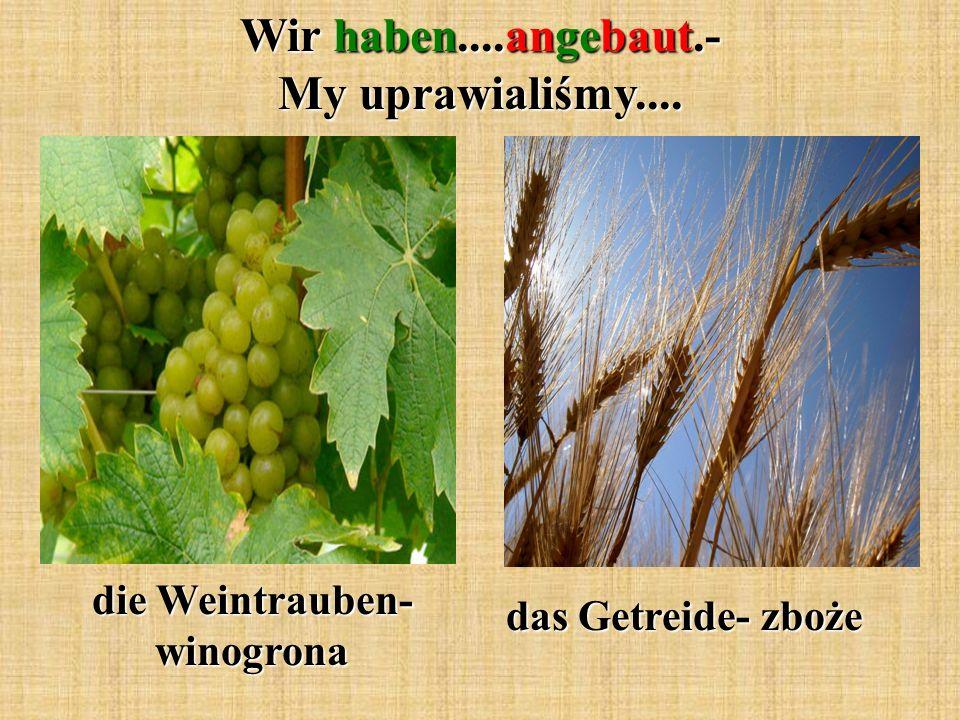 Wir haben....angebaut.- My uprawialiśmy.... die Weintrauben- winogrona das Getreide- zboże