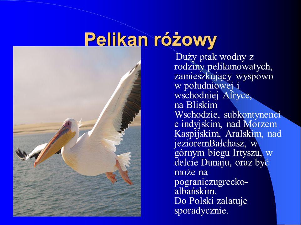 Pelikan różowy Duży ptak wodny z rodziny pelikanowatych, zamieszkujący wyspowo w południowej i wschodniej Afryce, na Bliskim Wschodzie, subkontynenci