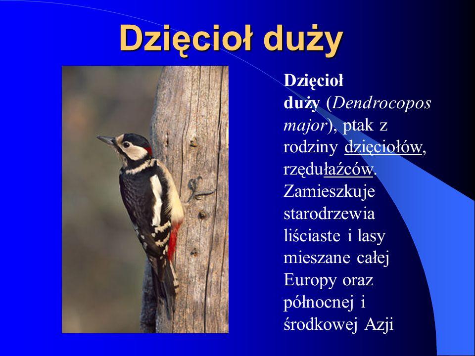 Dzięcioł duży Dzięcioł duży (Dendrocopos major), ptak z rodziny dzięciołów, rzędułaźców. Zamieszkuje starodrzewia liściaste i lasy mieszane całej Euro