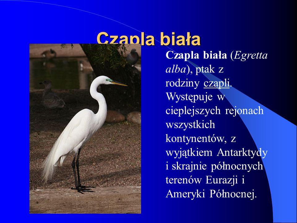 Czapla biała Czapla biała (Egretta alba), ptak z rodziny czapli. Występuje w cieplejszych rejonach wszystkich kontynentów, z wyjątkiem Antarktydy i sk