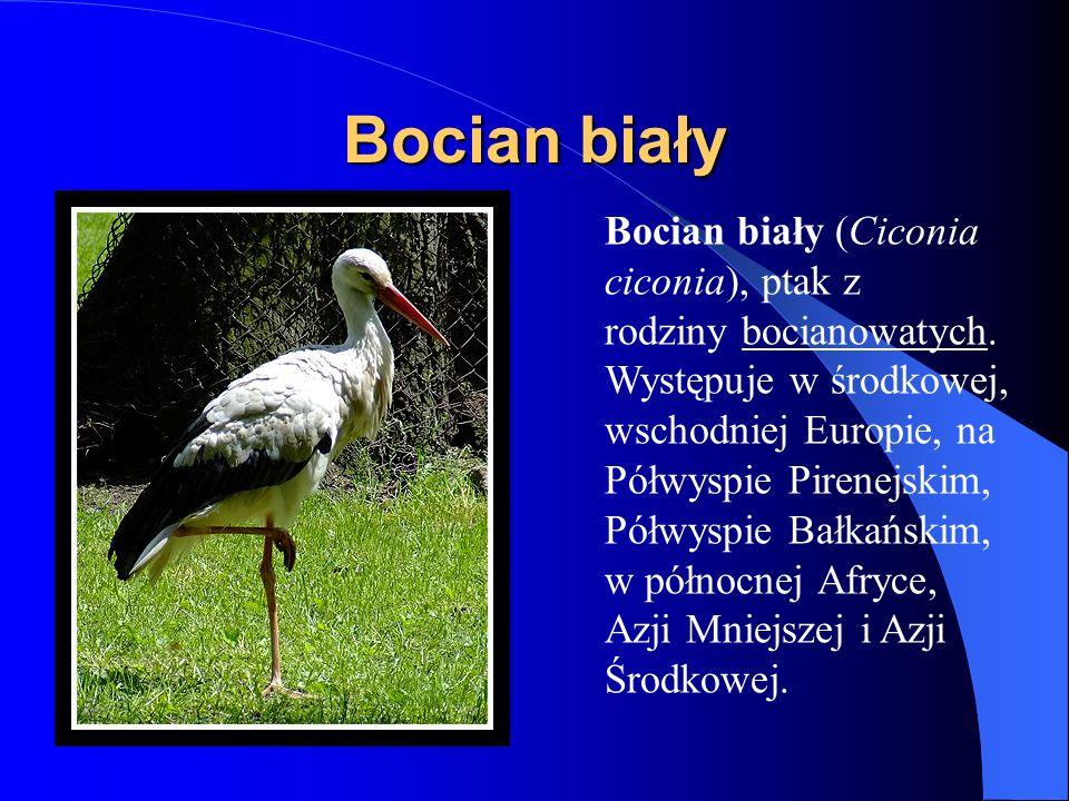 Bocian biały Bocian biały (Ciconia ciconia), ptak z rodziny bocianowatych. Występuje w środkowej, wschodniej Europie, na Półwyspie Pirenejskim, Półwys