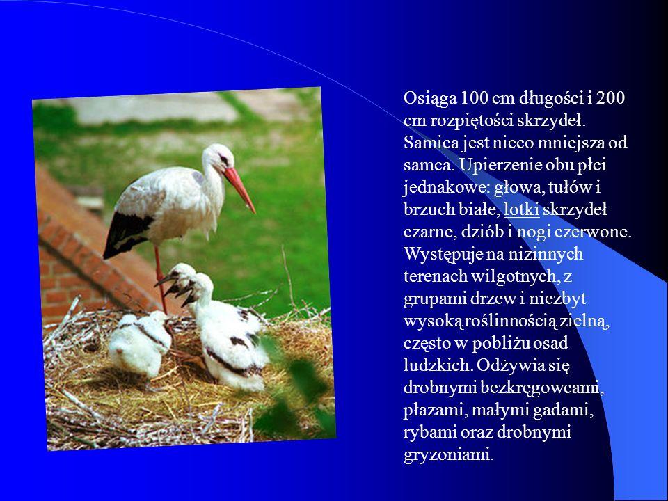 Bielik Bielik, birkut (Haliaëtus albicilla), ptak z rodziny jastrzębiowatych.