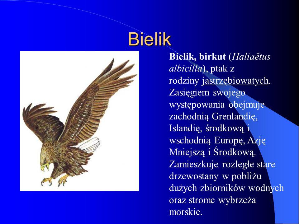 Osiąga 95 cm długości, 250 cm rozpiętości skrzydeł oraz wagę do 6 kg.