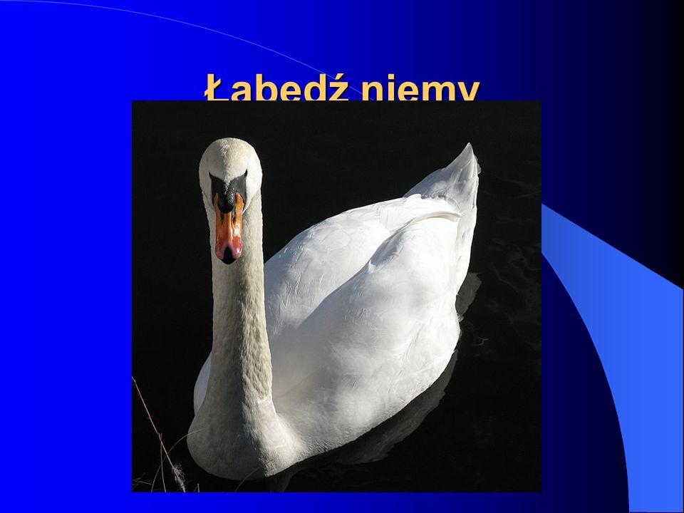 Łabędź niemy (Cygnus olor), ptak z rodziny kaczkowatych.