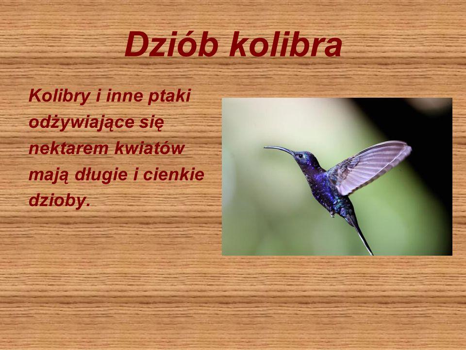 Dziób kolibra Kolibry i inne ptaki odżywiające się nektarem kwiatów mają długie i cienkie dzioby.
