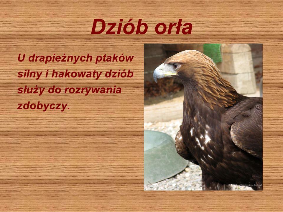 Dziób orła U drapieżnych ptaków silny i hakowaty dziób służy do rozrywania zdobyczy.