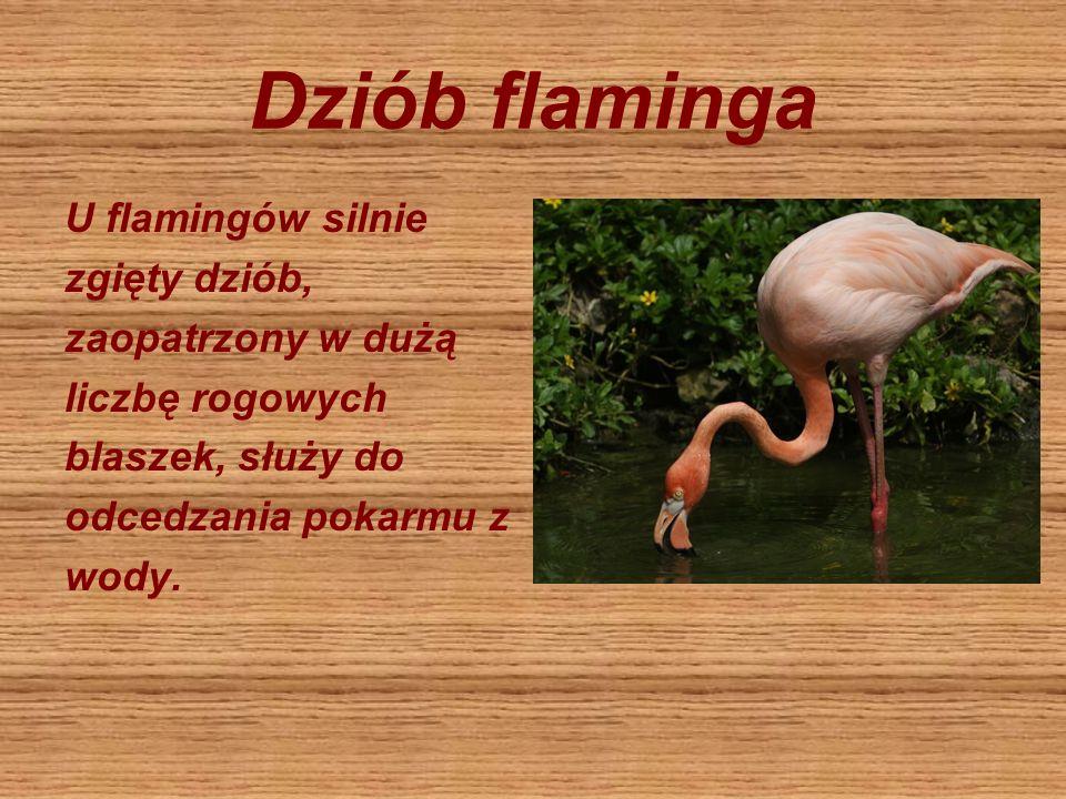 Dziób flaminga U flamingów silnie zgięty dziób, zaopatrzony w dużą liczbę rogowych blaszek, służy do odcedzania pokarmu z wody.