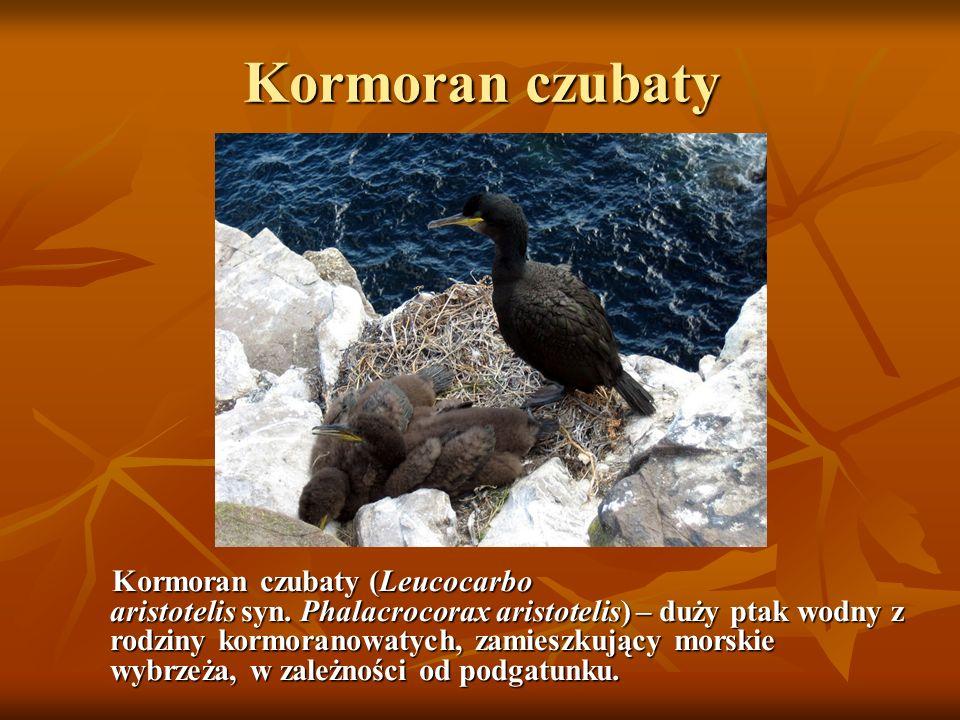 Kormoran czubaty Kormoran czubaty (Leucocarbo aristotelis syn. Phalacrocorax aristotelis) – duży ptak wodny z rodziny kormoranowatych, zamieszkujący m