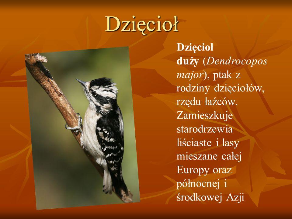 Dzięcioł Dzięcioł duży (Dendrocopos major), ptak z rodziny dzięciołów, rzędu łaźców. Zamieszkuje starodrzewia liściaste i lasy mieszane całej Europy o