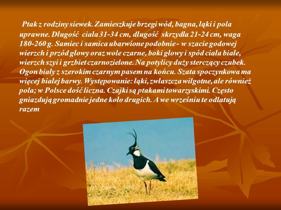 Ptak z rodziny siewek. Zamieszkuje brzegi wód, bagna, łąki i pola uprawne. Długość ciała 31-34 cm, długość skrzydła 21-24 cm, waga 180-260 g. Samiec i