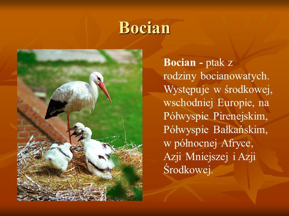 Bocian Bocian - ptak z rodziny bocianowatych. Występuje w środkowej, wschodniej Europie, na Półwyspie Pirenejskim, Półwyspie Bałkańskim, w północnej A
