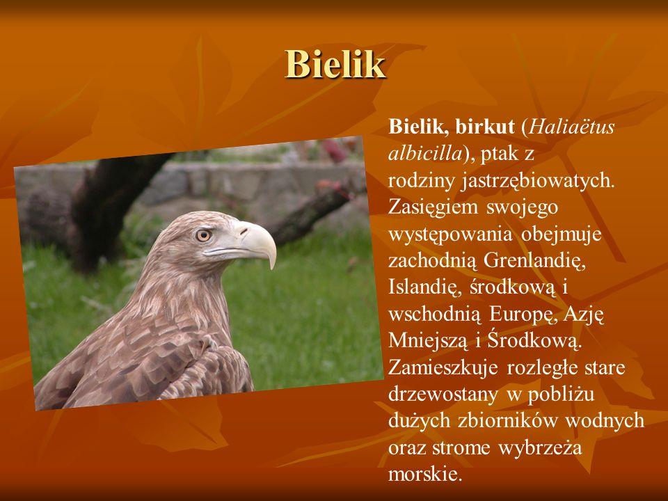 Bielik Bielik, birkut (Haliaëtus albicilla), ptak z rodziny jastrzębiowatych. Zasięgiem swojego występowania obejmuje zachodnią Grenlandię, Islandię,