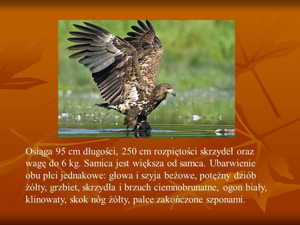 Osiąga 95 cm długości, 250 cm rozpiętości skrzydeł oraz wagę do 6 kg. Samica jest większa od samca. Ubarwienie obu płci jednakowe: głowa i szyja beżow
