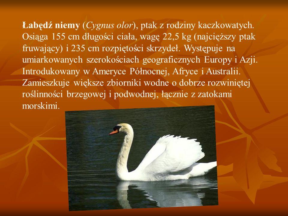 Łabędź niemy (Cygnus olor), ptak z rodziny kaczkowatych. Osiąga 155 cm długości ciała, wagę 22,5 kg (najcięższy ptak fruwający) i 235 cm rozpiętości s