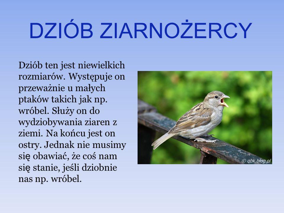 DZIÓB ZIARNOŻERCY Dziób ten jest niewielkich rozmiarów. Występuje on przeważnie u małych ptaków takich jak np. wróbel. Służy on do wydziobywania ziare