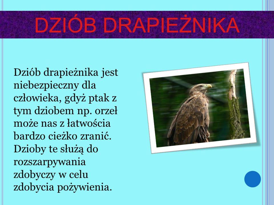 DZIÓB DRAPIEŻNIKA Dziób drapieżnika jest niebezpieczny dla człowieka, gdyż ptak z tym dziobem np. orzeł może nas z łatwościa bardzo cieżko zranić. Dzi