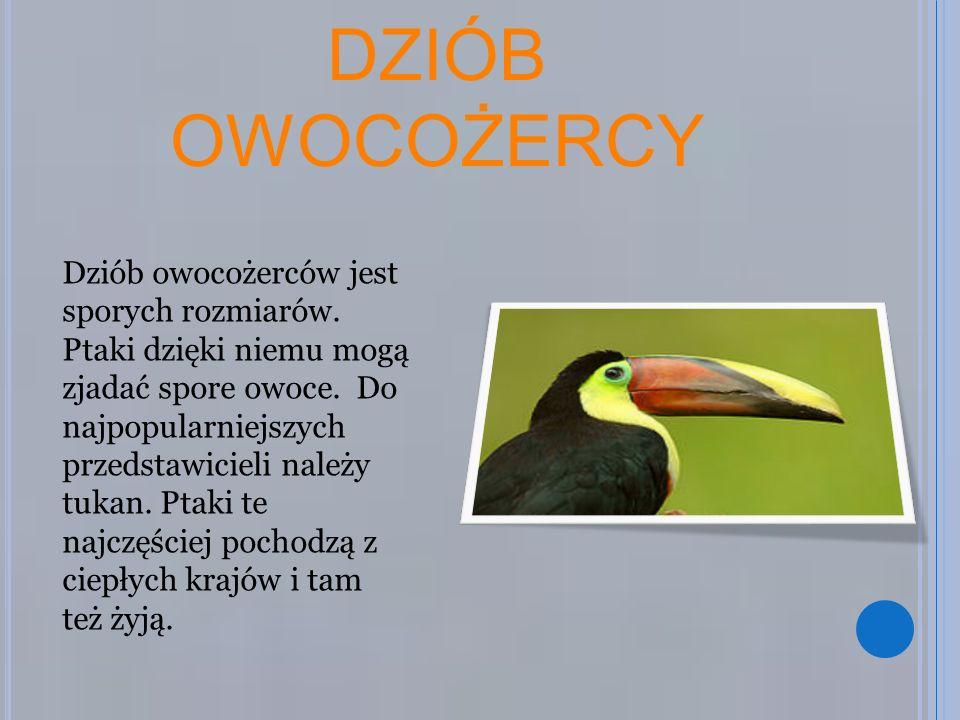 DZIÓB OWOCOŻERCY Dziób owocożerców jest sporych rozmiarów. Ptaki dzięki niemu mogą zjadać spore owoce. Do najpopularniejszych przedstawicieli należy t