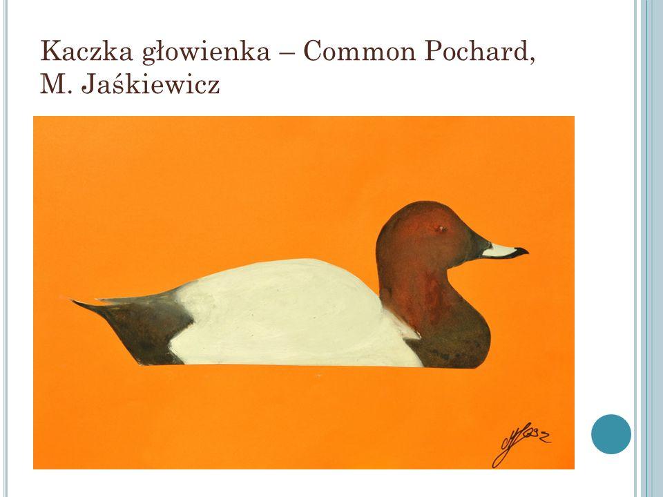 Kaczka głowienka – Common Pochard, M. Jaśkiewicz