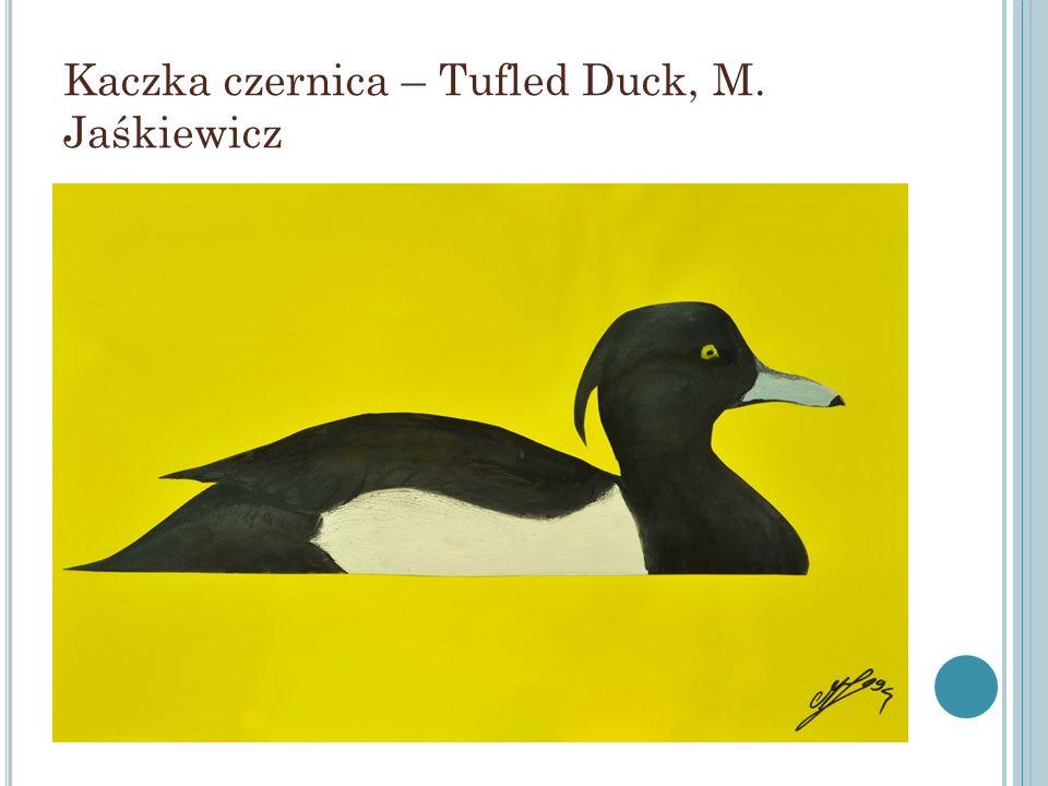 Kaczka czernica – Tufled Duck, M. Jaśkiewicz
