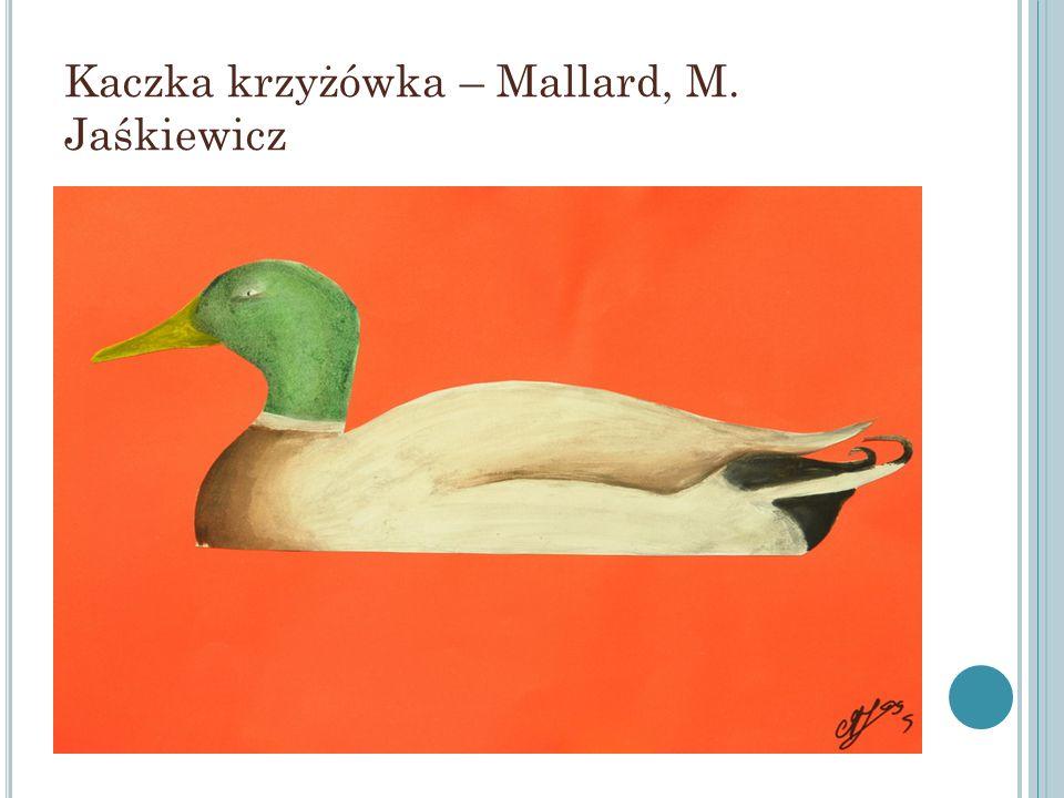 Kaczka krzyżówka – Mallard, M. Jaśkiewicz