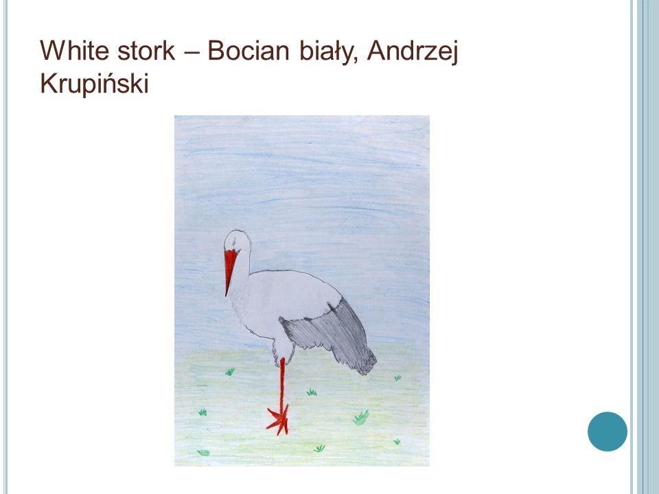 White stork – Bocian biały, Andrzej Krupiński