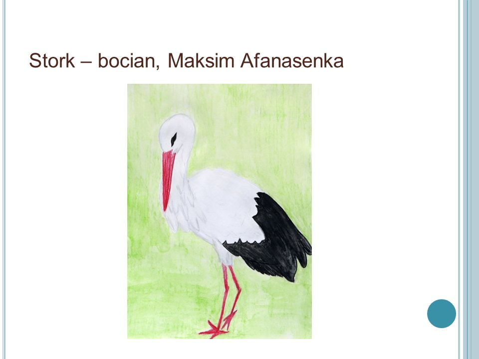 Łyska – Coot, M. Jaśkiewicz