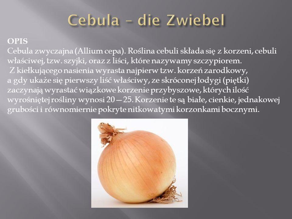 OPIS Cebula zwyczajna (Allium cepa). Roślina cebuli składa się z korzeni, cebuli właściwej, tzw. szyjki, oraz z liści, które nazywamy szczypiorem. Z k