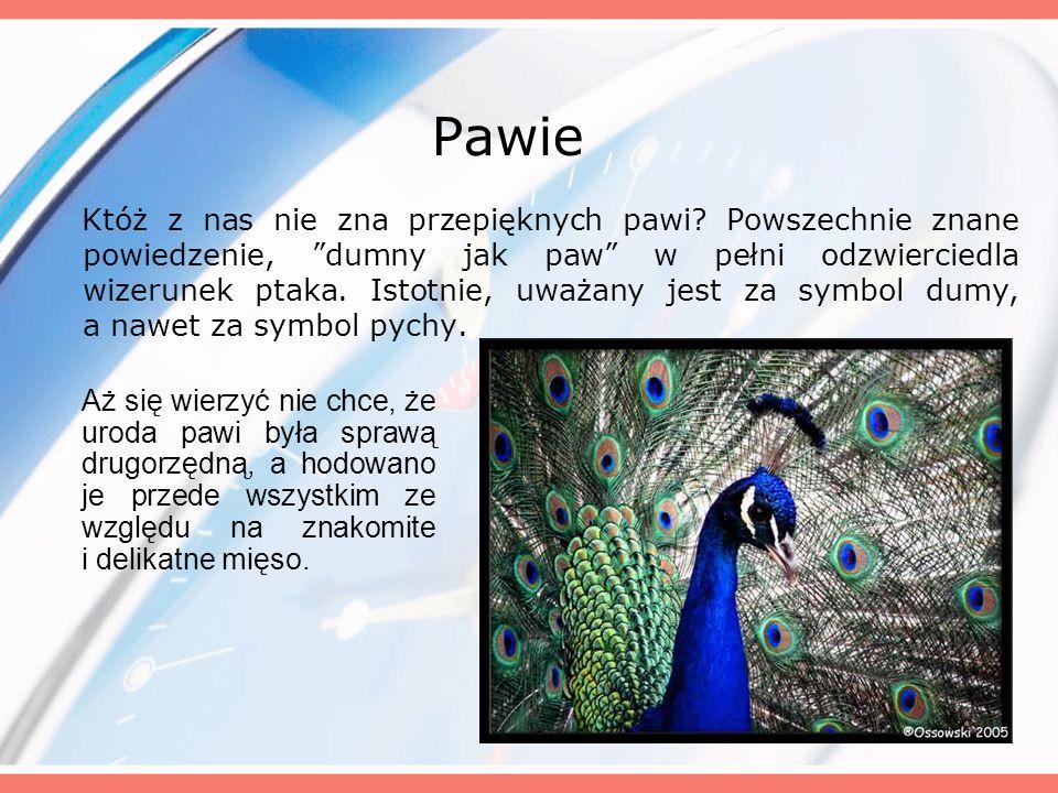Samiec Pawia Samiec ma niebiesko - zieloną głowę, a nieopierzone miejsca w okolicach oczu białawe.