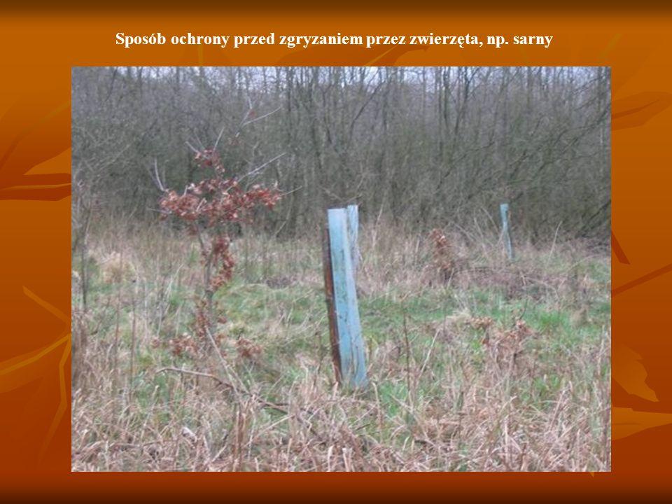 Na szkółce leśnej Pan Olesław zabrał mnie również na szkółkę leśną, na której nadleśnictwo hoduje i rozmnaża drzewa dla własnych potrzeb.