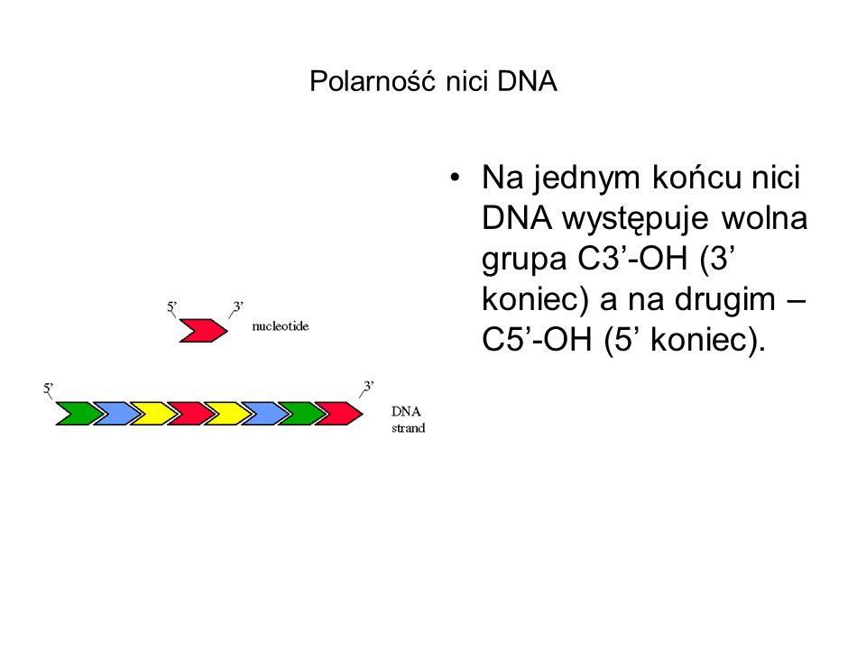 Polarność nici DNA Na jednym końcu nici DNA występuje wolna grupa C3-OH (3 koniec) a na drugim – C5-OH (5 koniec).