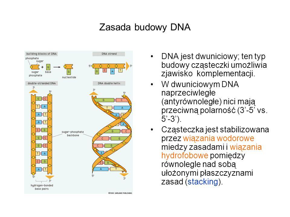 Zasada budowy DNA DNA jest dwuniciowy; ten typ budowy cząsteczki umożliwia zjawisko komplementacji. W dwuniciowym DNA naprzeciwległe (antyrównoległe)