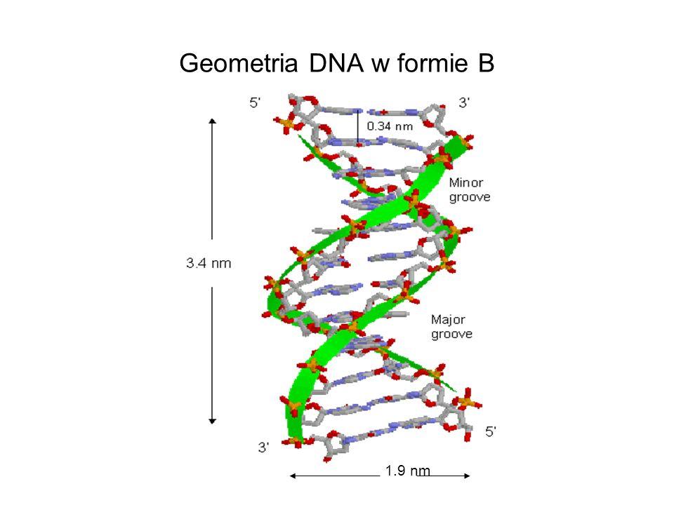 Geometria DNA w formie B 1.9 nm