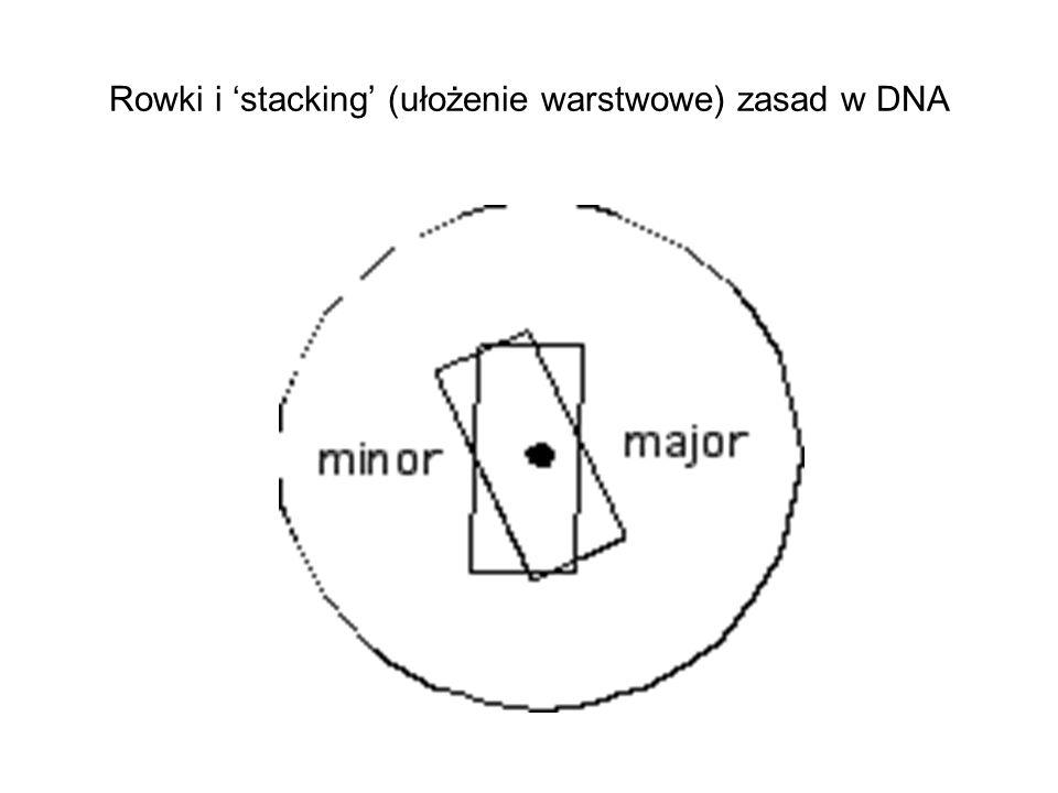 Rowki i stacking (ułożenie warstwowe) zasad w DNA