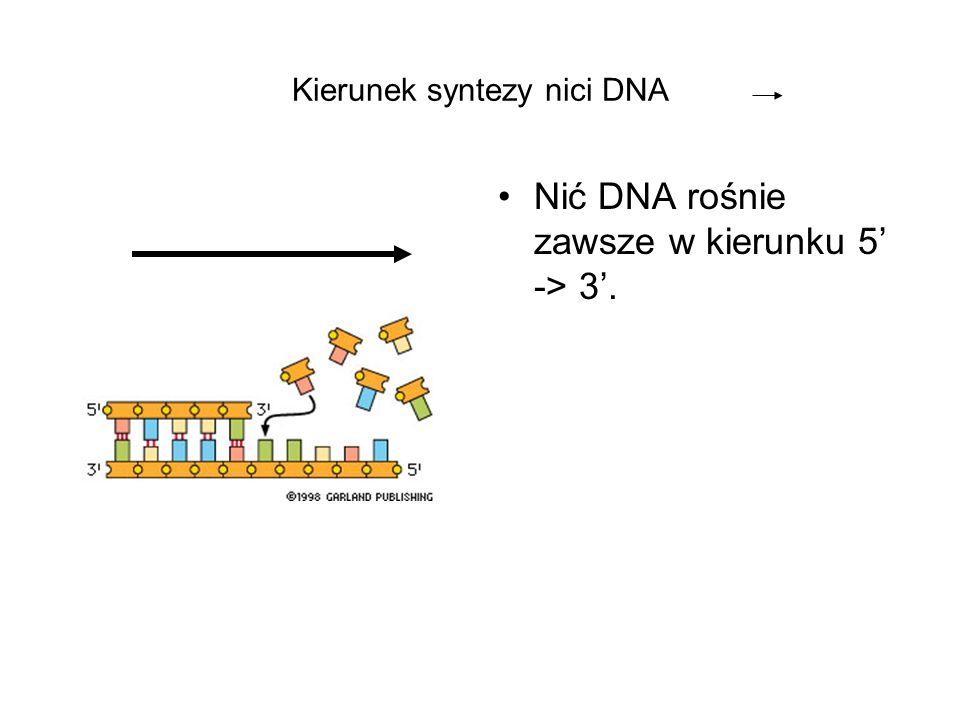 Kierunek syntezy nici DNA Nić DNA rośnie zawsze w kierunku 5 -> 3.