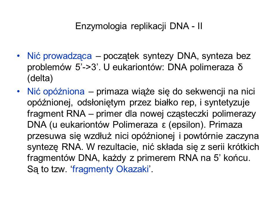 Enzymologia replikacji DNA - II Nić prowadząca – początek syntezy DNA, synteza bez problemów 5->3. U eukariontów: DNA polimeraza δ (delta) Nić opóźnio