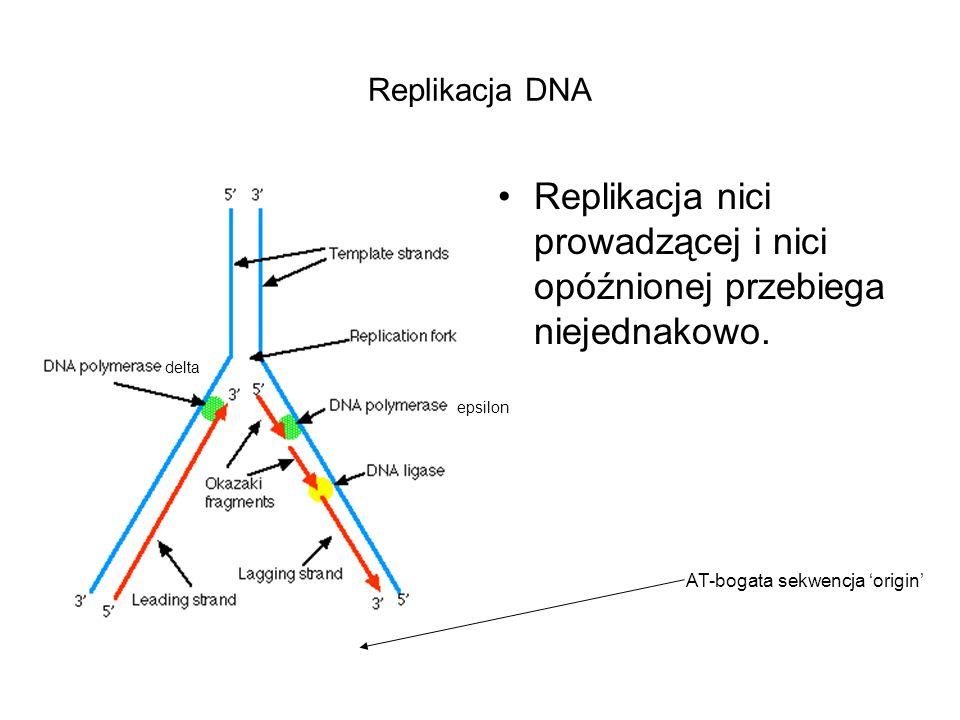 Replikacja DNA Replikacja nici prowadzącej i nici opóźnionej przebiega niejednakowo. delta epsilon AT-bogata sekwencja origin