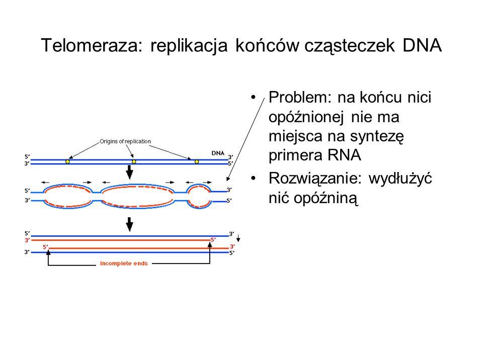 Telomeraza: replikacja końców cząsteczek DNA Problem: na końcu nici opóźnionej nie ma miejsca na syntezę primera RNA Rozwiązanie: wydłużyć nić opóźnin