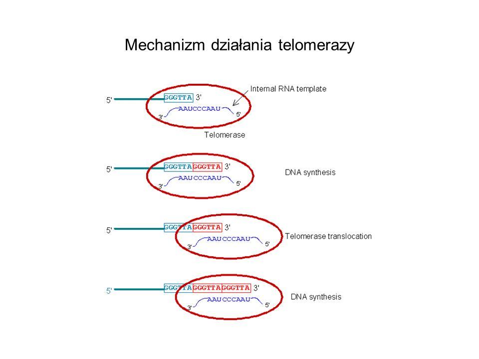 Mechanizm działania telomerazy