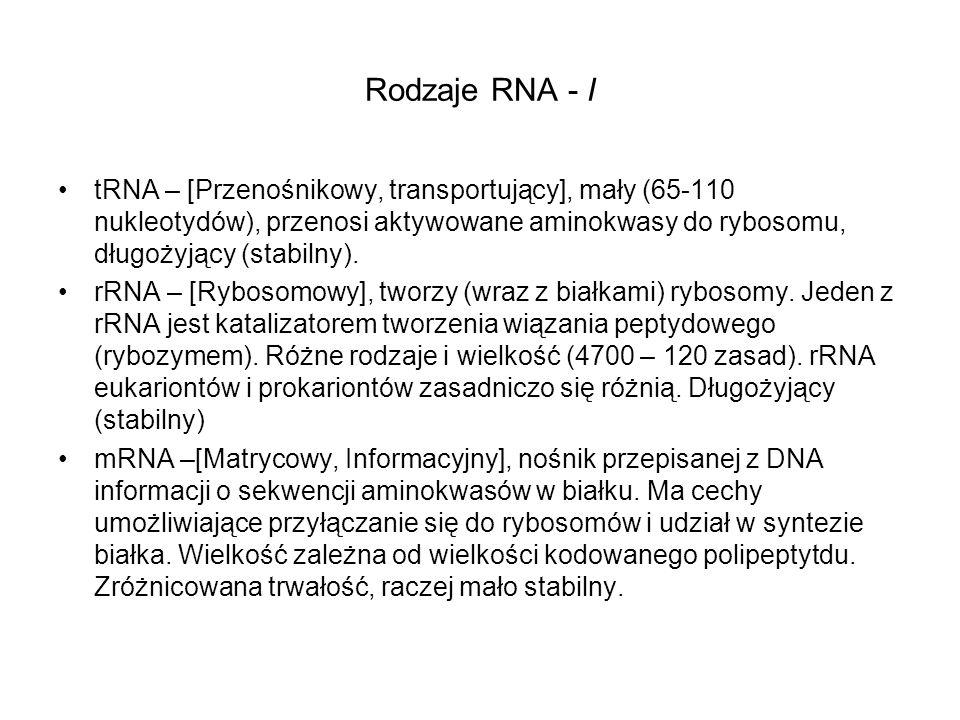 Rodzaje RNA - I tRNA – [Przenośnikowy, transportujący], mały (65-110 nukleotydów), przenosi aktywowane aminokwasy do rybosomu, długożyjący (stabilny).