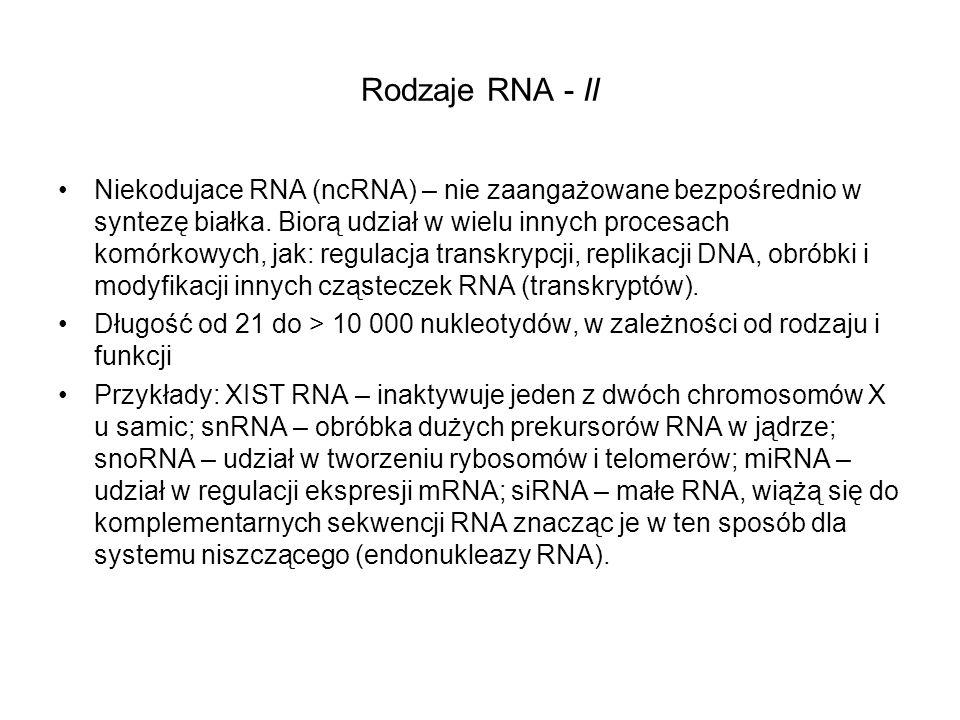 Rodzaje RNA - II Niekodujace RNA (ncRNA) – nie zaangażowane bezpośrednio w syntezę białka. Biorą udział w wielu innych procesach komórkowych, jak: reg